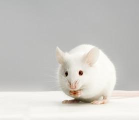 souris blanche