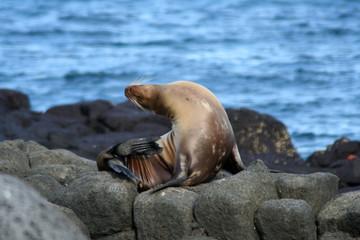 lion de mer des galapagos