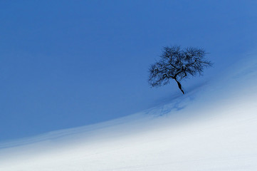lonely tree in winter