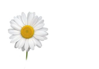 Photo sur Plexiglas Marguerites weiße margerite auf weißem hintergrund