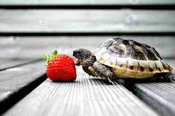 Fotobehang Schildpad turtle eating strawberry