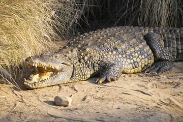 Printed roller blinds Crocodile krokodil 1