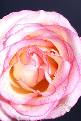 a pink rose against a black background