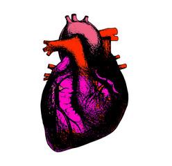 heart anatomical illustration