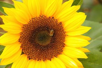 bee on a sunflower ii