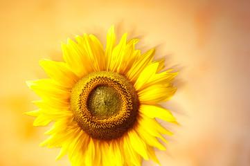 glowing sunflower1