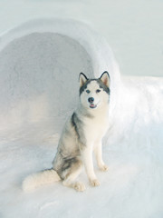 husky in igloo