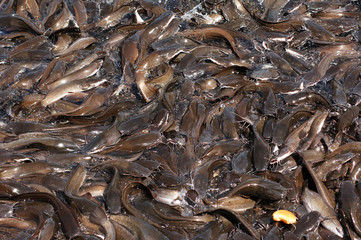 india, chennai: indouist temple; cat fish in the lake