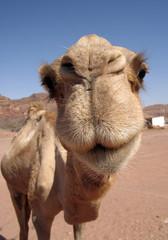 Photo sur Plexiglas Chameau chameau