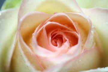 rose bunt tropfen