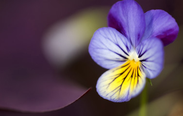 Poster Pansies pansy with oxalis