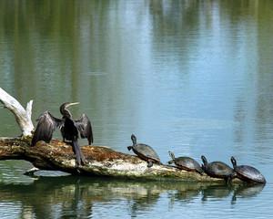 turtles and anhingas