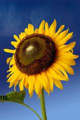 sun flower over blue sky