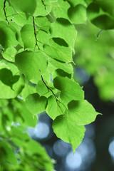 detail of linden tree