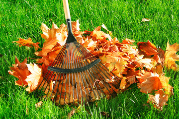 raking the autumn leaves