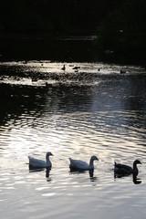 dusk geese