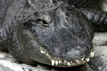 crocodile #3