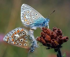 accouplement de papillons argus