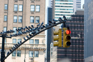 new york - traffic light with doves