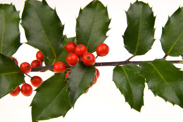 holly branch detail