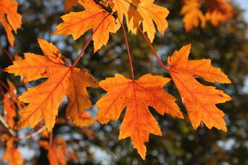 close-up of backlit maple leaves