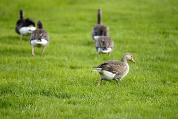 geese on grass field.