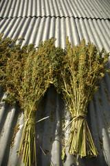 plantes de canabis