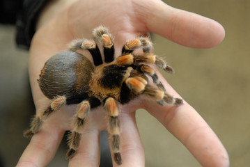 big spider on a palm.