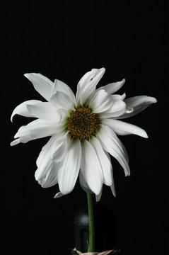 brittle flower