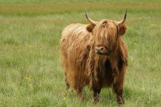 scotish cow