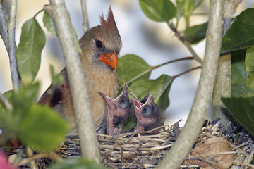 cardinal with chicks