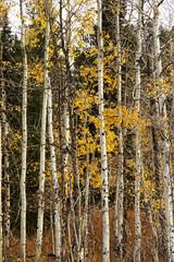 birkenbäume im herbst