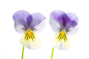 two blue and yellow pansies isolated on white back