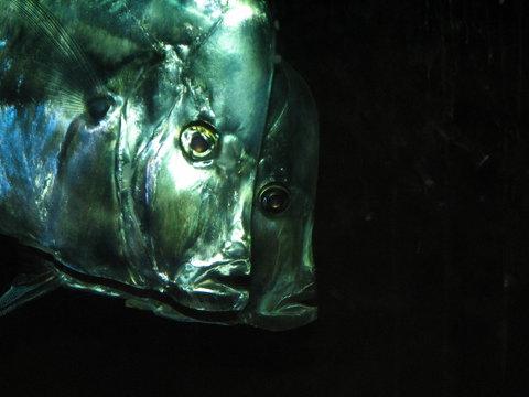 lookdown fish (selene vomer)
