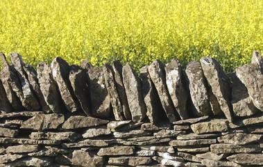 dry stone wall field of oil seed rape