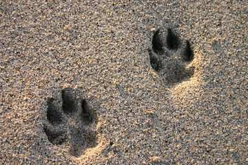 dog paw prints in the beach sand