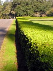 hedge in sun