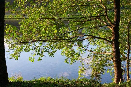 alder on coast of lake