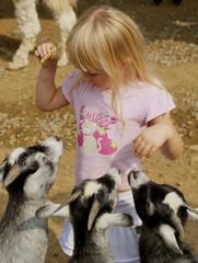 little girl feeding goats
