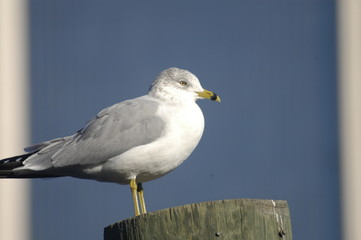 seagull close