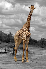 Wall Murals Giraffe giraffe