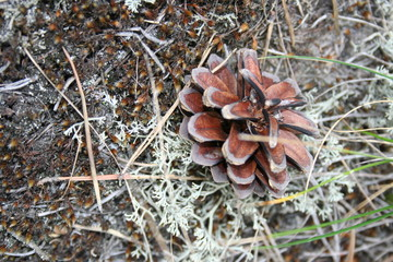 fir cone on the moss