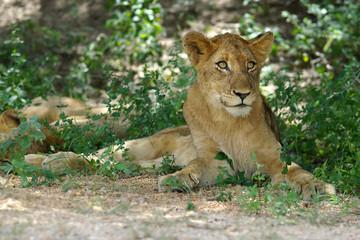 sitzender löwe