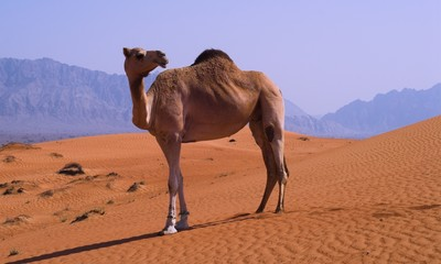 camel at the border uae oman