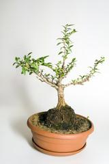 bonsai honeysuckle
