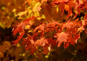 orange autumn sugar maple