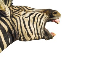 Türaufkleber Zebra zebra yawn isolated