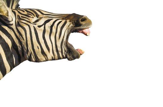 zebra yawn isolated
