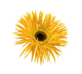close up of the yellow daisy on white