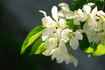 Fototapete - apple blossom